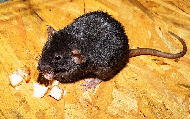 Sposoby na pozbycie się szczurów | Szczury jak się pozbyć